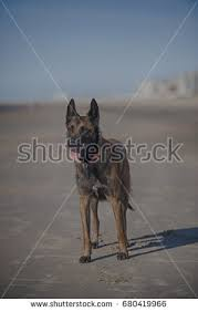 belgian shepherd ears belgian sheepdog stock images royalty free images u0026 vectors