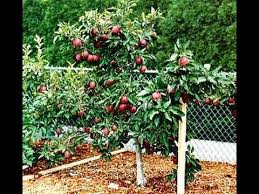 dwarf apple trees patio dwarf fruit trees for tight garden spaces