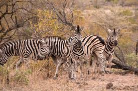 how many zebras can you spot in this photograph you u0027ll have to