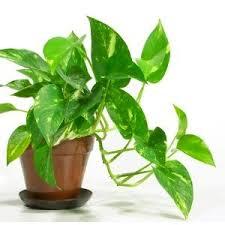 plante d駱olluante chambre plante dépolluante une grosse blague commerciale