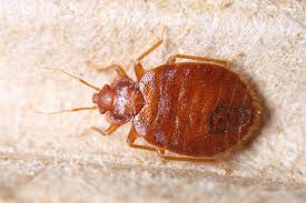 Bed Bug Nest Pictures What Do Bed Bug Droppings Look Like Terminix