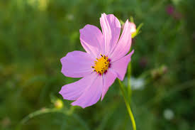 free images field meadow purple petal bloom botany closeup