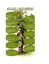 facts about the majestic oak tree