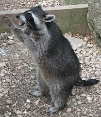 sneaky raccoon in my charlotte nc home