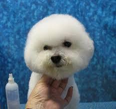 bichon frise fluffy fluffy bichon head dog grooming pinterest bichon frise