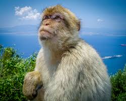 picture of the week a monkey atop the rock of gibraltar andy u0027s