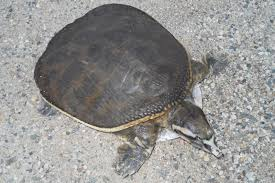 cycle shell florida softshell turtle facts habitat diet life cycle baby