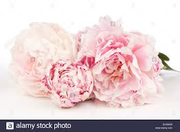 Peony Flowers Three Peony Flowers On A White Background Stock Photo Royalty