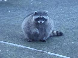 the real roundest trash panda of the world taken in my backyard