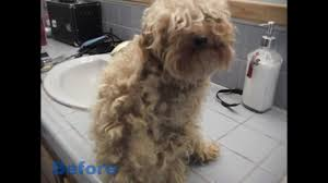 haircutsfordogs poodlemix before and after dog grooming levi the poodle chihuahua cross