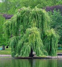 how to make aspirin from a willow tree home remedies wonderhowto