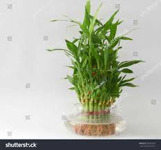 Best Inside Plants Soil Best Can Bamboo Plants In Water You Plant Lucky Bamboo In