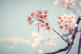 up of beautiful vintage tree flower cherry blossom