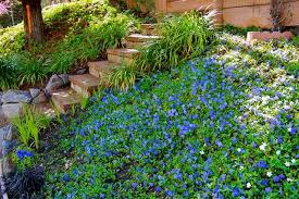 periwinkle ground cover periwinkle slope ground cover my