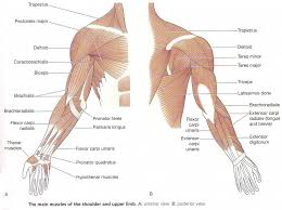 The Human Anatomy Muscles Arm Anatomy Muscle Human Anatomy Diagram