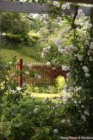 white climbing roses flowers and gardens pinterest rose