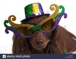 mardi gras glasses dog wearing mardi gras hat glasses and stock photo