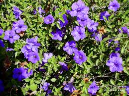 native plants of arizona desert ruellia archives ramblings from a desert garden