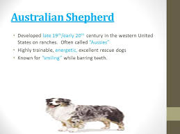 australian shepherd vomiting dog breeds id vet tech ppt video online download