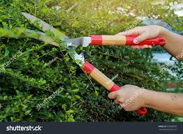 pruning ornamental trees by scissors stock photo 620938508