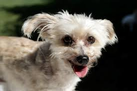 silky terrier with haircut silky terrier appearance grooming