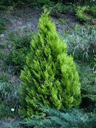 small pine tree stock photo picture and royalty free image image