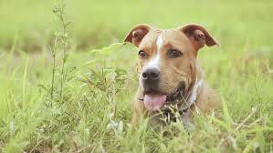 american pitbull terrier webbed feet american pit bull terrier stock footage video shutterstock