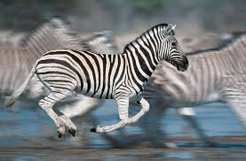 for zebras on the run stripes may provide protection