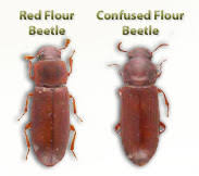 How To Get Rid Of Bugs In Kitchen Cabinets Confused Flour Beetle Red Flour Beetle Get Rid Of Flour Beetles