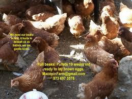 Backyard Chicken Breeds by Chicken Breeds Red Sexlink With The Chicken Salpingitis Lash