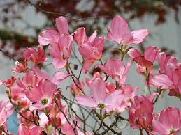 trees with pink flowers dogwood tree flowers prints pink flowering tree