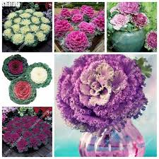 100pcs bag flowering kale seeds ornamental cabbage bonsai seeds