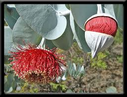 awesome looking flowers 54 best eucalyptus images on pinterest flowers plants and seed pods