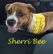 boxer dog for adoption go boxer rescue serving greater ohio
