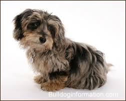 affenpinscher maltese mix designer dogs designer dog breeds hybrid dogs experimental dogs