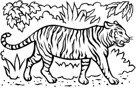 tiger coloring pages printable images kids aim