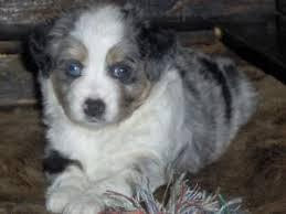 australian shepherd 4 sale miniature australian shepherd puppies for sale miniature and toy