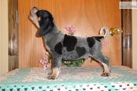 bluetick coonhound breeders near me bluetick coonhound puppies for sale picture and images