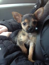 short haired chorkie image result for chorkie cute critters pinterest yorkies