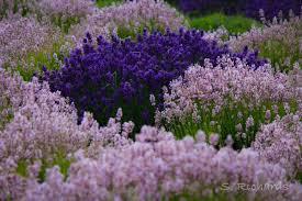 lavender wind u2013 in ebey u0027s historic reserve