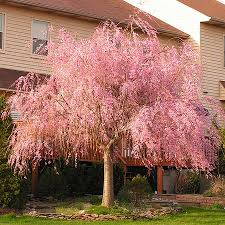 best 25 cherry tree ideas on cherry blossoms