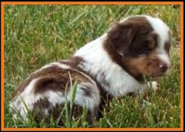 australian shepherd 4 weeks old mini aussie pup for sale 2014 litter 5 callie pup 5 red merle