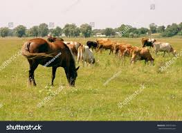 horses cows on pasture herd cows stock photo 395751424 shutterstock