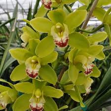 cymbidium orchids mini green cymbidium orchid sprays akatsuka orchid gardens