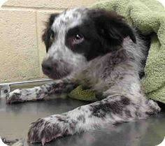 australian shepherd los angeles rescue los angeles ca australian shepherd shepherd unknown type mix