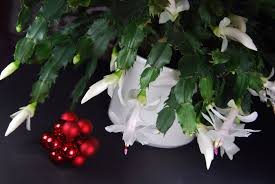thanksgiving cactus information learn about thanksgiving cactus