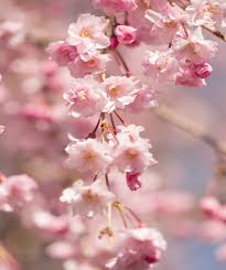 Cherry Blossom Facts by Weeping Flowering Cherry High Form
