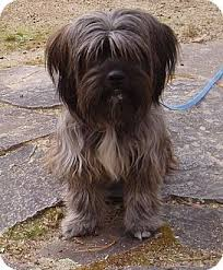 bearded collie x terrier sadie adopted dog w warwick ri shih tzu bearded collie mix