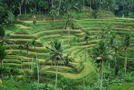 sempol lele rice terraces at ceking tegalalang by mister sempol via flickr