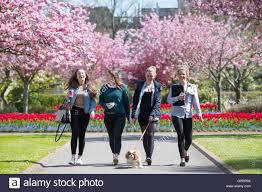 blossom trees cardiff university students walk a dog near pink blossom trees